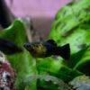 Der Molly-Fisch, Poecilia