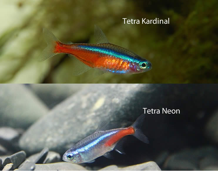 Tetra Neon - Tetra Cardinal