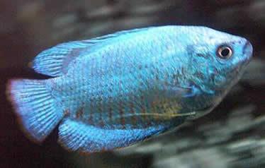 Zwergfadenfisch Colisa lalia