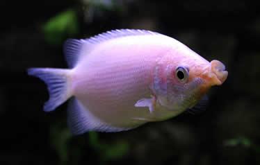 Helostoma temminckii Küssender Fadenfisch