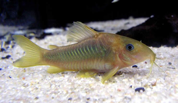 Panzerwelse - Corydoras
