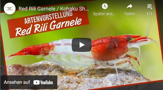 Red Rili im Aquarium Video